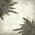 Textured old paper background with blue sea holly Royalty Free Stock Image