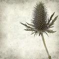 Textured old paper background with blue sea holly Stock Images