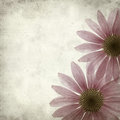 Textured old paper background with magenta echinacea Stock Photography