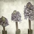 Textured old paper background with opening hyacinth Royalty Free Stock Images