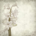 Textured old paper background with opening hyacinth Royalty Free Stock Photo