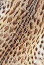 Textured tiger pelt Royalty Free Stock Photo
