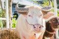 Thai albino buffalo pink buffalo closeup Stock Image