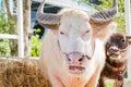 Thai albino buffalo pink buffalo closeup Stock Photography