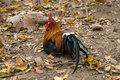 Thai bantam Royalty Free Stock Image
