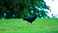 Thai bantam chicken females a is seeking food from the ground and around him Stock Images