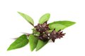Thai Basil. Stock Image