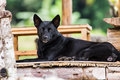 Thai black dog on terrace style Royalty Free Stock Images