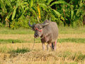 Thai buffalo in field rice harvest Stock Image