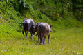 Thai buffalo in grass field mammal animal south of thailand Stock Photo