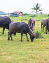 Thai buffalo in grass field near bangkok thailand Stock Image