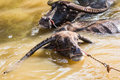 Thai Buffalo take a bath Royalty Free Stock Photo