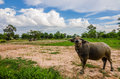 Thai buffalo water in the rice field countryside Royalty Free Stock Images