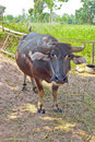 Thai buffel Royaltyfria Foton