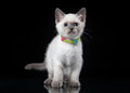 Thai cat on black background small Royalty Free Stock Photography
