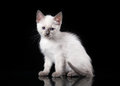 Thai cat on black background small Royalty Free Stock Images