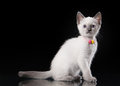 Thai cat on black background small Stock Image
