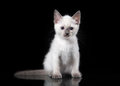 Thai cat on black background small Stock Photos
