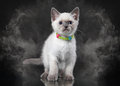 Thai cat in fog on black background small Royalty Free Stock Photos