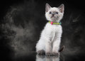 Thai cat in fog on black background small Royalty Free Stock Photo
