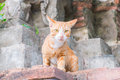 Thai cat orange striped kitten stretches looking at the camera Stock Image
