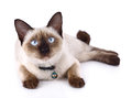 A thai cat is a traditional or old-style siamese cat. Royalty Free Stock Photo