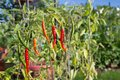 Thai chili peppers ripening