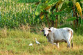 Thai cow cattle egrets countryside prachuap khiri khan outside hua hin thailand Royalty Free Stock Image