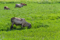 Thai cows graze grazing in grassland Royalty Free Stock Photo