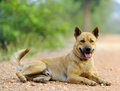 Thai dog relax on street look Royalty Free Stock Photo