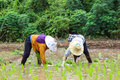 Thai famers planting the seeding of rice Royalty Free Stock Images