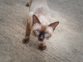 Thai famous cat (Siamese Cat) looking Royalty Free Stock Photo