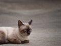 Thai famous cat (Siamese Cat) Royalty Free Stock Photo