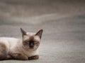Thai famous cat (Siamese Cat) sleeping Royalty Free Stock Photo