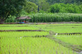 Thai farmmer stay in the hut native green rice field around and corn field Stock Photos