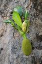Thai Jackfruit in Chiangmai, Thailand. Royalty Free Stock Photography