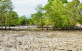 Thai Mangrove Swamp Royalty Free Stock Photo