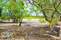 Thai Mangrove Swamp Royalty Free Stock Photo