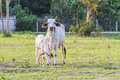 Thai mother cow with young calf resting in a field landscape and calves Royalty Free Stock Photos