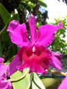Thai orchid pink sweet thailand asia Stock Images