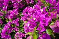 Thai Purple Bougainvillea Stock Image
