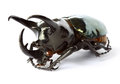 Thai rhinoceros beetle a on white Royalty Free Stock Image