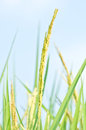 Thai rice ear close up thailand with blue sky Stock Image