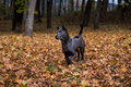 Thai Ridgeback Dog and Autumn Leaves Background