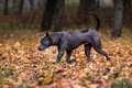 Thai Ridgeback Dog is Playing on the Autumn Leaves Ground.