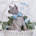 Thai ridgeback puppy in a basket christmas two months old Stock Image
