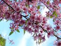 Thai sakura the pink flower from chiangmai thailand Stock Photos