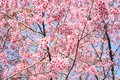 Thai sakura the pink flower from chiangmai thailand Royalty Free Stock Images
