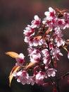 Thai sakura prunus cerasoides wild himalayan cherry Stock Image