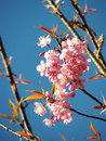 Thai sakura prunus cerasoides wild himalayan cherry Stock Photography